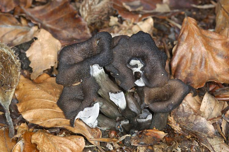 Horn of Plenty - Craterellus cornucopioides