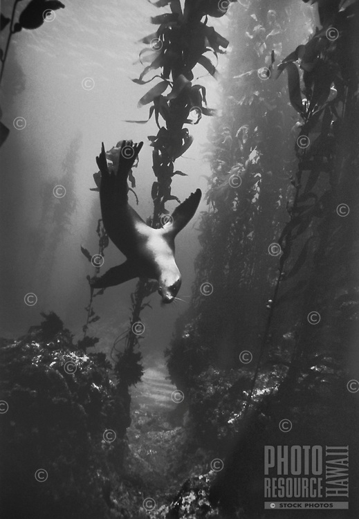 California Sea Lion Diving in Kelp Forest, Santa Barbara Island, California