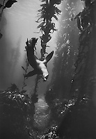 California Sea Lion Diving in Kelp Forest, Santa Barbara Island, California