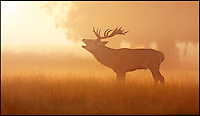 BNPS.co.uk (01202 558833)<br /> Pic: JonHawkins/BNPS<br /> <br /> Red deer stag bellows in the morning mist.<br /> <br /> Photographer Jon Hawkins has reaped the benefits of many early morning starts this autumn with a stunning set of pictures from Bushy Park near Hampton Court of the magnificent Red Deer.