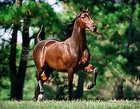 Arabian stallion trots across rise.