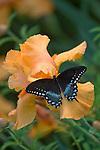 Spice Bush Swalowtail (Papilio troilus)