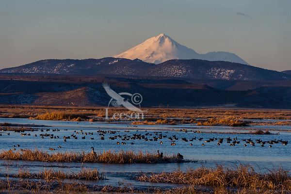 Mount Shasta with canadian geese and white-fronted geese and a few ducks in wetland pond during late winter/early spring migration.  Lower Klamath National Wildlife Refuge, California-Oregon border.  Early morning.