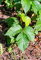 Poison ivy plant, New Jersy, USA