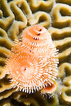 Bonaire, Netherlands Antilles; Spiral-gilled Tube Worms or Christmas Tree Worms grow out of Symmetrical Brain Coral (Diploria strigosa) forming unique patterns , Copyright © Matthew Meier, matthewmeierphoto.com All Rights Reserved