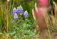 Lupinus formosa - Blue flowering summer lupine in California native plant Sierra meadow
