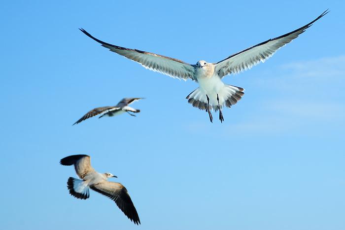 Gaviotas en vuelo / aves de Panamá.<br /> <br /> Seagulls flying / birds of Panama.<br /> <br /> Edición de 10 | Víctor Santamaría.