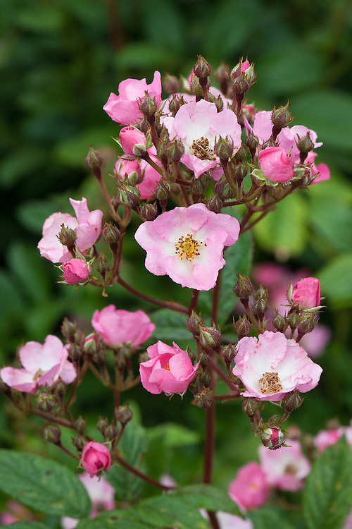 Rosa 'Ballerina', early June. A Hybrid Musk rose first introduced in 1937. Huge clusters of deep pink flowers with white centres that fade to pale pink as they age. Flowers continually from summer to late autumn.