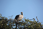 A vulture perches itself on the top of a tree in the early hours of the morning.