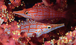 longnose hawkfish: Oxycirrhites typus, a pair amongst soft coral at a depth of 10 metres, Solomon Islands
