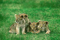 656257064 four very young african lion cubs panthera leo pose on high alert on a grassy knoll in ngorogoro crater national park in tanzania