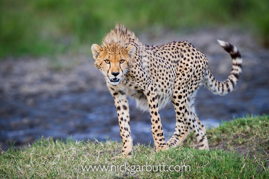 Young Cheetah (Acinonyx jubatus).  Ngorongoro Conservation Area / Serengeti National Park, Tanzania.