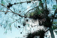 PLANTS<br /> Epiphyte on Softwood tree<br /> Boca Raton, Fl<br />  An epiphyte is a plant that grows upon another plant non-parasitically or sometimes upon some other object, derives its moisture and nutrients from the air and rain and sometimes from debris around it.