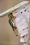 Tree Swallows (Tachycineta bicolor) male outside a nest box with nest material, while female looks out, New York, USA