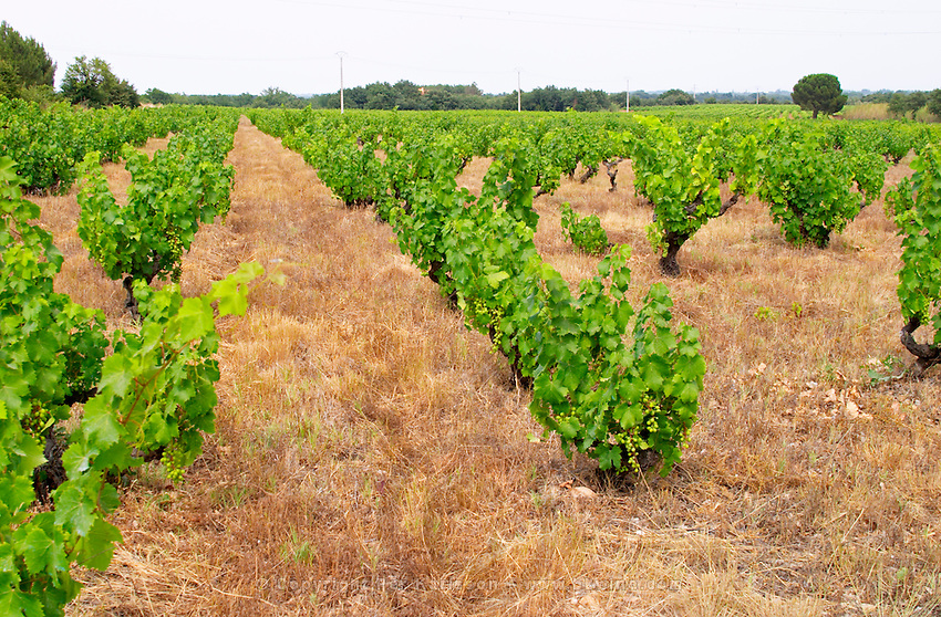 Domaine de Nidoleres. Roussillon. Vines trained in Gobelet pruning. Muscat d'Alexandrie grape vine variety. In the area called Les Alberes. France. Europe. Vineyard.