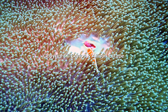 Symbiotic relationship with anemonefish attracting prey for anemone and anemone providing protection.