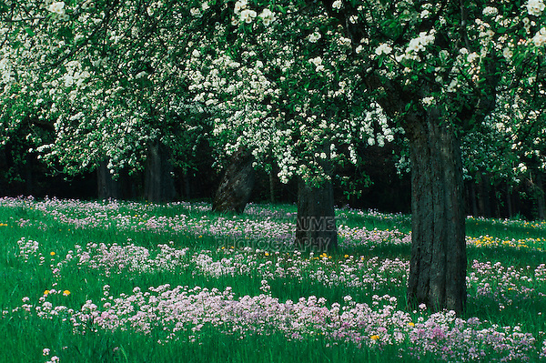 Apple tree (Malus domestica) in orchard blooming, Switzerland, Europe