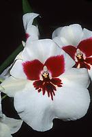 Miltoniopsis Gay, orchid hybrid of Eileen Ono x Lynne Waihee