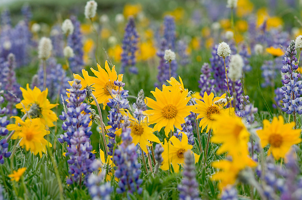 Wild wilflower garden--balsamroot, bistort and lupine.  Northwestern Wyoming.