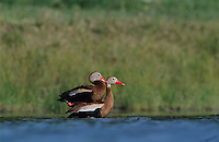 Black-bellied Whistling-Duck, Dendrocygna autumnalis,pair mating, Willacy County, Rio Grande Valley, Texas, USA, May 2004