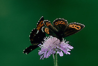 Arran Brown, Erebia ligea, adults drinking on Scabiosa flower , Oberaegeri, Switzerland, August 1996
