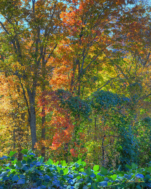 Even Kudzu can be attractive when draped across Fall colors in the Smokies. Three exposure HDR image.