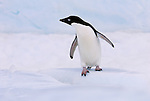 Penguins - Stock Images