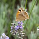 Meadow brown butterfly on lavender, mid August.