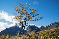 Autumn tree with summit of Tolpagorni - Duolbagorni in distance, viewed from near Kebnekaise Fjällstation, Ladtjovagge, Lappland, Sweden