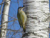 Grauspecht, Grau-Specht, Erdspecht, Erdspechte, Picus canus, grey-headed woodpecker, grey-faced woodpecker, Le Pic cendré