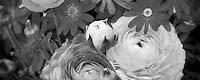 Cineraria, and Ranunchulus flowers. Al's Nursery, Oregon