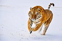 Siberian tiger or Amur tiger, Panthera tigris altaica, c,