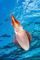 Caribbean reef squid, Sepioteuthis sepioidea, Bonaire, Netherlands, Caribbean Sea, Atlantic Ocean