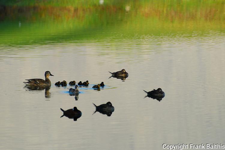 Mallard protecting chicks