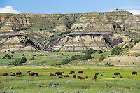 "American Bison herd in ""badlands"" of Theodore Roosevelt National Park, North Dakota.  Summer."
