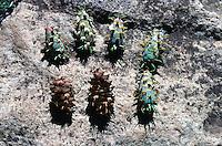 PINECONES<br /> Douglas Fir Tree<br /> Pseudotsuga menziesii<br /> Flagstaff, AZ