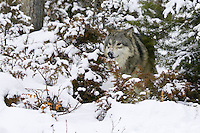 Grey Wolf standing in the snowy underbrush - CA