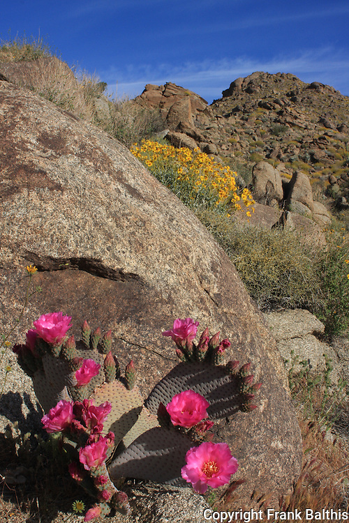 Blooming beavertail cactus and brittle bush in the Santa Rosa Mountains