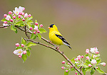 American Goldfinch (Carduelis tristis) male in breeding plumage, perched amid apple blossom in spring, Freeville, New York, USA.
