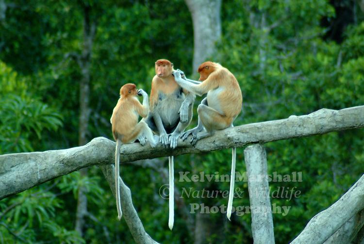 A family group of Proboscis monkeys.