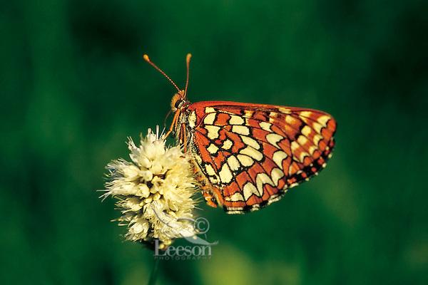 Snowberry checkerspot butterfly (Euphydryas colon) on bistort flower