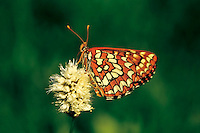 Snowberry checkerspot butterfly (Euphydryas colon) on bistort flower