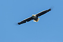White-tailed Eagle (Haliaeetus albicilla). Loch Na Keal, Isle of Mull, Scotland, UK. June.