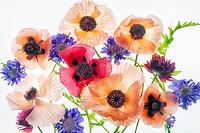 Boquet of poppy flowers