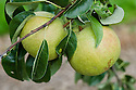 """Pear 'Doyenne Blanc', early September. Also known as 'Weisse Herbst Butterbirne', Doyenne', 'St. Michel', 'Citron', and White Doyenne'. """"A very old cultivar of uncertain origin, possibly Italian and first recorded in the 17th century. Vigorous and fairly reliably cropping but needs a good summer to develop full flavour."""" ('Pears' by Jim Arbury and Sally Pinhey)"""