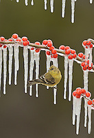 Lesser Goldfinch (Carduelis psaltria), adult female perched on icy branch of Possum Haw Holly (Ilex decidua) with berries, Hill Country, Texas, USA
