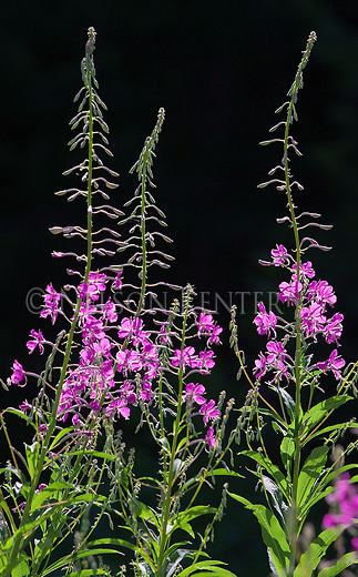 Fireweed is a prolific plant and usually the first to re-seed after a wildfire in Montana
