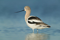 American Avocet (Recurvirostra americana) wading in shallow water
