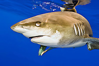 oceanic whitetip shark, Carcharhinus longimanus, note nictitating membrane, off Big Island, Hawaii, Pacific Ocean