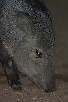 Wild Collared Peccary more known as Javelinas seen looking four food after dark in the Tucson AZ. City limits.